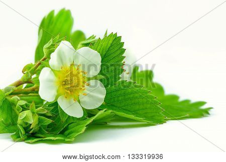 strawberry flower and leaves isolated on the white background