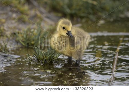 A chick of Canadian goose (Branta canadensis).