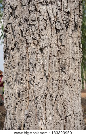 Native Asian Tree With Ruff Bark Patterns And Texture Cause By Trunk Growth Through Changing Weather