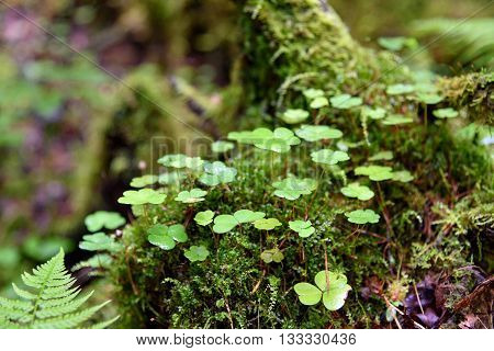 Wood Sorrel In Moss On Tree In The Forest