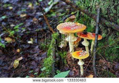 Amanita Muscaria. Red Poisonous Mushrooms