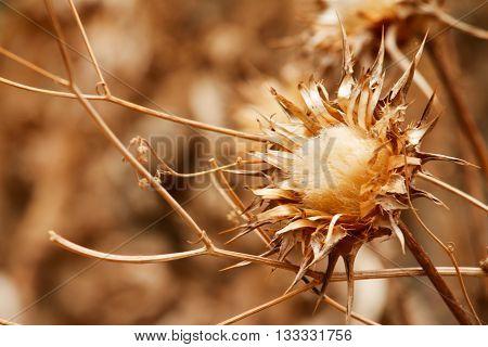 Golden-brown desert thistle in a barren region
