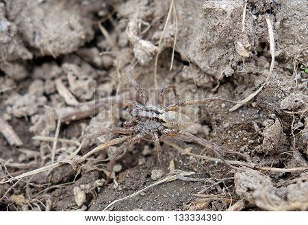 Creepy wolf spider crawling and blending into the dirt on the ground, camouflaged insect macro photo background.
