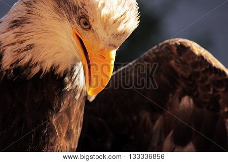 Up close with a bald eagle in Alaska