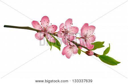 Cherry blossom, sakura flowers isolated on white background. Realistic vector illustration