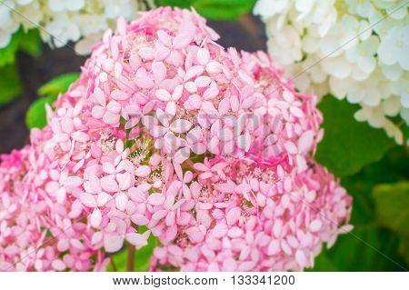 Pink West Indian jasmin (Ixora chinensis lamk) flower in garden