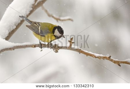 Great tit in winter under falling snow