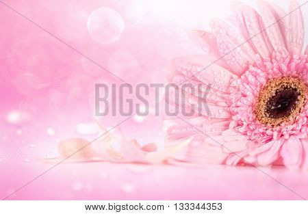 sweet pink Gerbera flower with water droplet romantic and fresh moment softness and selective focus