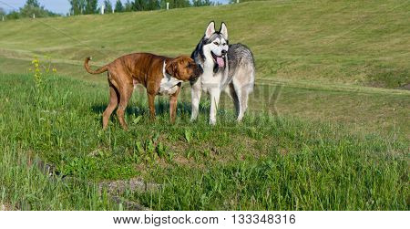 two dogs, breed a malamute and the boxer, run on a grass, the field, solar evening, summer, a green grass a background,