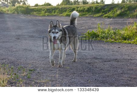 the dog breed a malamute, goes, the summer period, a green grass a background, solar evening, the nature, natural, a portrait, clouds, the sky,