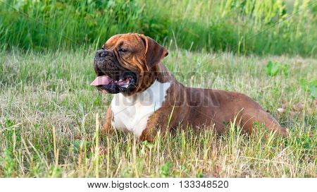 the dog breed the boxer, lies on a mowed grass, yellow color, the summer period, a green grass a background, solar evening, the nature, natural, a portrait