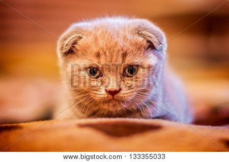 Lop-eared Portrait of British cat looking to the camera