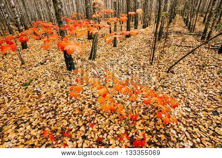 Young Maple Tree Grows In The Birch Grove. Maple With Red Leaves On A Background Of The Ground Strewn With Yellow Leaves In Autumn Forest
