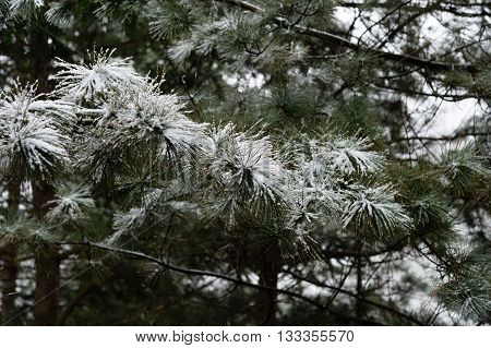 Branches of the pines were snow covered, they're both wild.