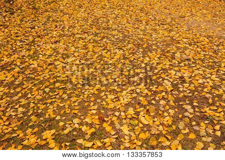 Fallen Yellow Leaves On The Ground. Autumn Season, Forest Background.
