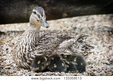Wild duck with youngs. Animal scene. Spring natural theme. Detail photo. Beauty in nature. Ducklings with mother.