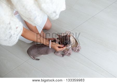 Sphinx kitten sitting looking at the camera hairless cat