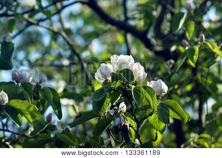 White flowers on a tree branch quince