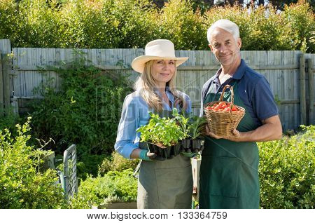 Happy couple holding plants of basil and a basket filled with red juicy tomatoes. Satisfied mature couple in their vegetable garden. Senior man with woman holding fresh plants and tomatoes.