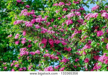 tree Crataegus Pauls Scarlet blooms in May