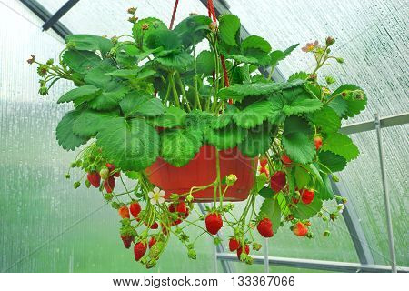 Potted Riped Garden Strawberry Hanging In Greenhouse