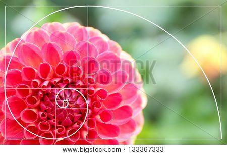 Beautiful chrysanthemum flower, close-up. Golden Ratio concept