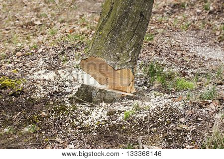 the freshly felled tree in a forest