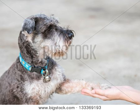 Closeup smart dog schnauzer dog give its leg to woman hand on blurred cement floor in house background