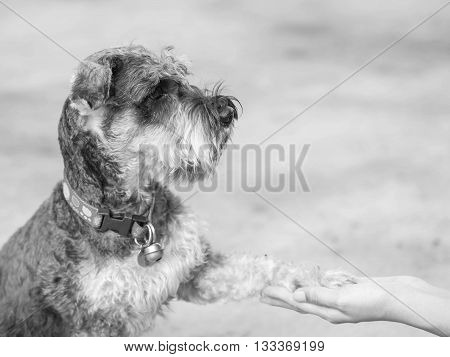 Closeup schnauzer dog give its leg to woman hand on blurred cement floor in house background in black and white tone