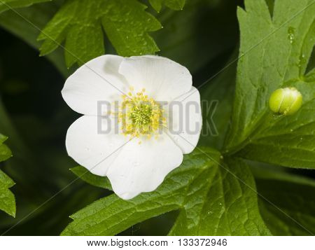 white anemone flower at flowerbed macro selective focus shallow DOF