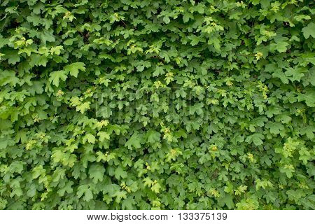 Spring Wall Overgrown With Fresh Green Ivy Leaves. Natural Fence