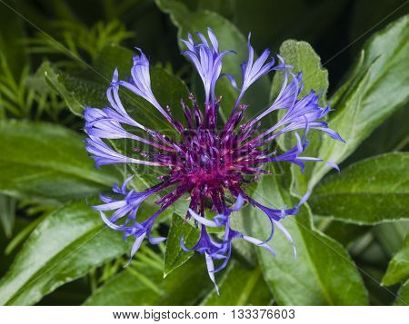 Flower of squarrose knapweed macro selective focus shallow DOF
