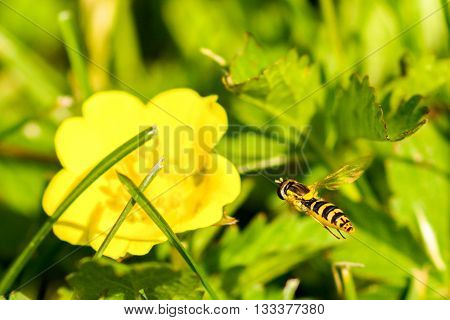 Hoverflies sometimes called flower flies or syrphid flies make up the insect family Syrphidae.