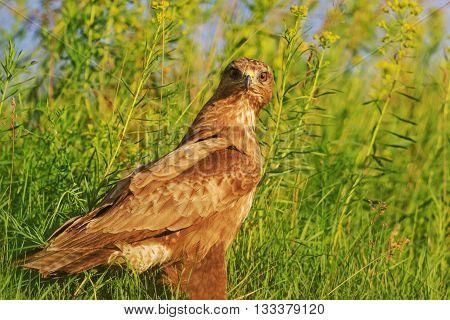Buzzard of summer grass, sunset, warm colors, predator hunting