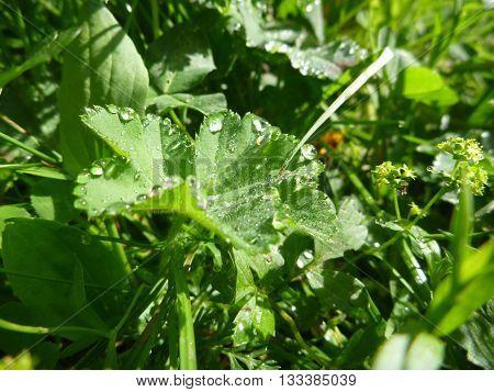 Lady Mantle Leaf With Morninw Dew Drops