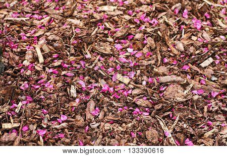 Pink petals fallen onto mulch covered ground