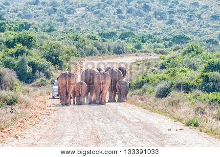 ADDO ELEPHANT NATIONAL PARK SOUTH AFRICA - FEBRUARY 23 2016: A tourist vehicle blocking a herd of approaching african elephants