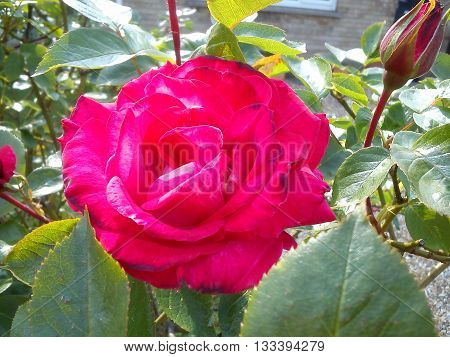 A fully open red rose and bud bathing in sunlight in the company of green leaves.