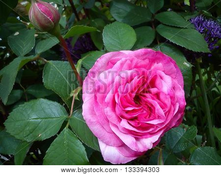 This photo shows a fully open pink rose and bud bathing in sunlight in the company of green leaves. The attraction is the the vividness of the pink colour and the perfect shape of the fully open rose.