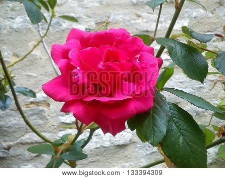 A fully open red rose standing in front of a stone wall with a beautiful curvy branch.