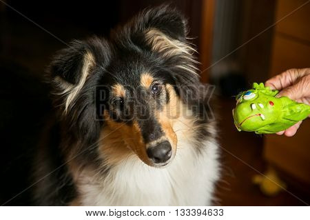Black collie dog doesn't want to play with her green toy