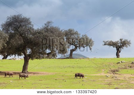 Iberian pig eating acorns in the meadow, Extremadura, Spain