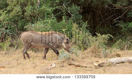Cut - Phacochoerus Africanus  The Common Warthog