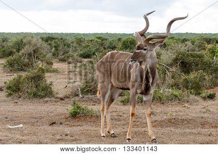 Messy - Greater Kudu - Tragelaphus Strepsiceros