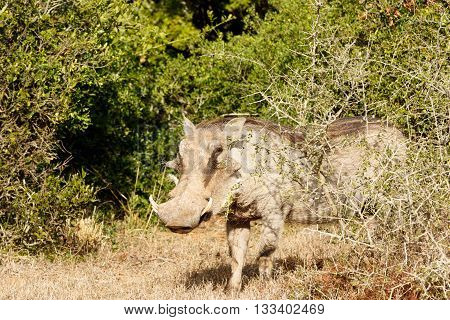 Look At Me Ma - Phacochoerus Africanus  The Common Warthog