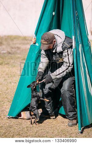 Gomel Belarus - March 27 2016: Miniature Pinscher dog training. Biting dog. Zwergpinscher Min Pin