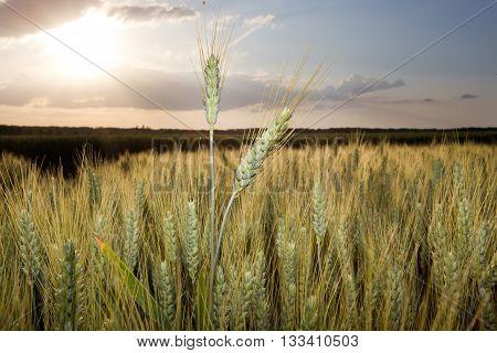 Wheat Ear At Sunset