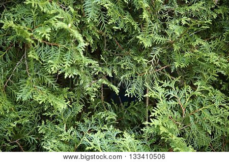 full frame vegetation background showing lots of fresh green thuja leaves