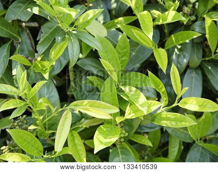 full frame vegetation background showing lots of fresh green cherry laurel leaves