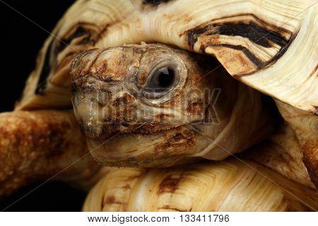 Closeup Head Leopard tortoise albino, Stigmochelys pardalis turtle with white shell on Isolated Black Background